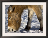 Przewalski's Horse Eating Snow in Kalamaili National Park, Xinjiang Province, China, February 2007 Art by George Chan