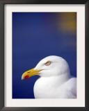 Herring Gull, Cornwall, UK Posters by Ross Hoddinott