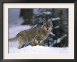 European Grey Wolves in Snow, Bayerischer Wald Np, Germany Prints by Eric Baccega