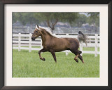 Palomino Morgan Stallion Trotting in Paddock, Ojai, California, USA Prints by Carol Walker