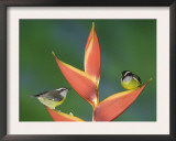 Bananaquit Two Adults on Heliconia Plant, Costa Rica Posters by Rolf Nussbaumer