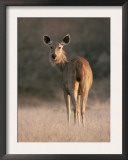 Indian Sambar Deer Ranthambore Np, Rajasthan, India Posters by Jean-pierre Zwaenepoel