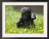 Western Lowland Gorilla Female Baby Scratching Head. Captive, France Art by Eric Baccega
