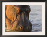 Hippopotamus at Sunrise, South Luangwa, Zambia Posters by T.j. Rich