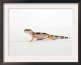 Leopard Gecko Walking Print by Petra Wegner