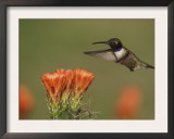 Black-Chinned Hummingbird Male in Flight Feeding on Claret Cup Cactus Hill Country, Texas, USA Posters by Rolf Nussbaumer