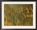 Common Reeds, Bude Canal, Cornwall, UK Print by Ross Hoddinott
