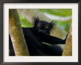 Black Lemur Male, Nosy Komba, North Madagascar, Iucn Vulnerable Posters by Inaki Relanzon