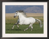 Grey Andalusian Stallion Running in Field, Longmont, Colorado, USA Prints by Carol Walker