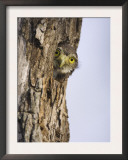 Ferruginous Pygmy-Owl Young Peering Out from Nest Hole, Rio Grande Valley, Texas, USA Prints by Rolf Nussbaumer