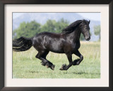 Black Friesian Gelding Running in Field, Longmont, Colorado, USA Posters by Carol Walker