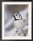 Crested Tit Adult on Frozen Branch in Winter, Minus 15 Celsius, Switzerland Posters by Rolf Nussbaumer