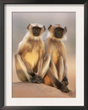 Hanuman Langur Two Adolescents Sitting, Thar Desert, Rajasthan, India Prints by Jean-pierre Zwaenepoel