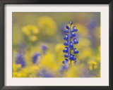 Texas Bluebonnet in Field of Wildflowers, Gonzales County, Texas Print by Rolf Nussbaumer