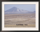 Herd of Tibetan Wild Ass Roams the Chang Tang Nature Reserve in Central Tibet., December 2006 Posters by George Chan