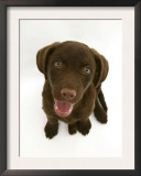 Chesapeake Bay Retriever Dog Pup, 'Teague', 9 Weeks Old Looking Up Poster by Jane Burton