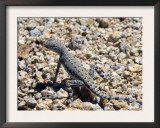 Zebra-Tailed Lizard. Saguaro National Park, Arizona, USA Posters by Philippe Clement