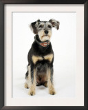 Mixed Breed Dog Sitting Down, One Ear Raised Posters by Petra Wegner