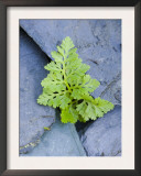 Parsley Fern Growing Amongst Slate, Scotland, UK Art by Niall Benvie