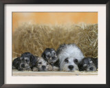 Domestic Dog, Dandie Dinmont Terrier with Four Puppies, 6 Weeks Prints by Petra Wegner