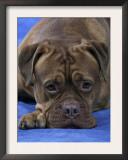 Head of Bordeaux Dog Art by Petra Wegner