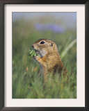 European Suslik Souslik Adult Feeding, National Park Lake Neusiedl, Austria Poster by Rolf Nussbaumer