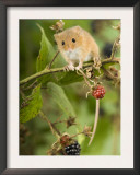 Harvest Mouse Perching on Bramble with Blackberries, UK Posters by Andy Sands