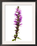 Purple Loosestrife Scotland, UK Print by Niall Benvie