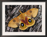 Io Moth Male on Mesquite Tree Bark in Defensive Pose, Rio Grande Valley, Texas, Usa, April Print by Rolf Nussbaumer