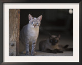 European Grey Tabby White Spotted Cat with Another Behind, in Doorway, Italy Prints by Adriano Bacchella