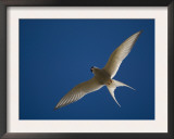 Arctic Tern in Flight, Snafelsness Peninsula, West Iceland Posters by Inaki Relanzon