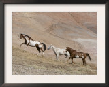 Two Paint Horses and a Grey Quarter Horse Running Up Hill, Flitner Ranch, Shell, Wyoming, USA Print by Carol Walker