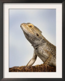 Inland Bearded Dragon Profile, Originally from Australia Prints by Petra Wegner