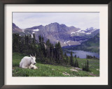 Mountain Goat Adult with Summer Coat, Hidden Lake, Glacier National Park, Montana, Usa, July 2007 Prints by Rolf Nussbaumer