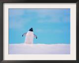 Gentoo Penguin on Snowline. Antarctica Prints by Edwin Giesbers