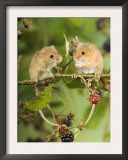 Two Harvest Mice Perching on Bramble with Blackberries, UK Poster by Andy Sands
