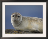 Common Seal on Rock, South Iceland Poster by Inaki Relanzon