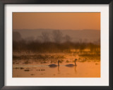 Whooper Swans at Sunrise, Hornborgasjon Lake, Sweden Prints by Inaki Relanzon