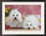 Two Coton De Tulear Dogs Lying on a Rug Art by Petra Wegner