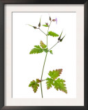 Herb Robert Scotland, UK Prints by Niall Benvie