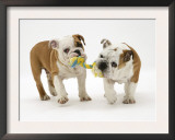 Two Bulldog Pups Carrying a Ragger Art by Jane Burton