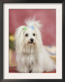 Coton De Tulear Dog Sitting Down Posters by Petra Wegner