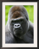 Head Portrait of Male Silverback Western Lowland Gorilla Captive, France Prints by Eric Baccega