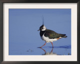 Northern Lapwing Adult Wading, National Park Lake Neusiedl, Austria Posters by Rolf Nussbaumer