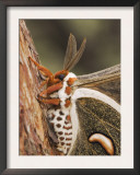 Cecropia Moth Adult Resting on Texas Madrone Bark, Hill Country, Texas, USA Prints by Rolf Nussbaumer