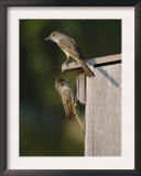 Brown-Crested Flycatcher Pair at Nest Box, Rio Grande Valley, Texas, USA Art by Rolf Nussbaumer