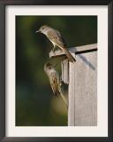 Brown-Crested Flycatcher Pair at Nest Box, Rio Grande Valley, Texas, USA Art by Rolf Nussbaumer