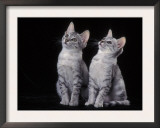 Two Egyptian Mau Kittens Looking Up Print by Adriano Bacchella