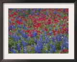 Texas Bluebonnet and Drummond's Phlox Flowering in Meadow, Gonzales County, Texas, Usa, March 2007 Prints by Rolf Nussbaumer