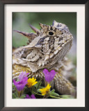 Texas Horned Lizard Adult Head Portrait, Texas, Usa, April Poster by Rolf Nussbaumer